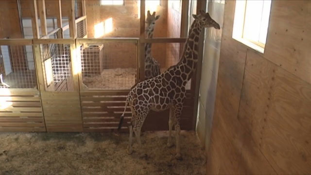 Giraffe cam back on YouTube after being flagged as 'sexually explicit'