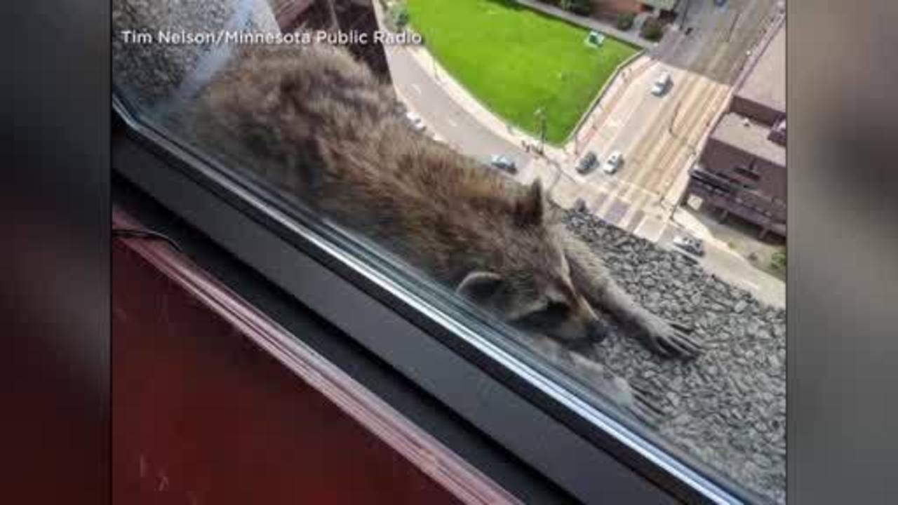 Raccoon Causes Stir After Scaling Up 720 The Challenge