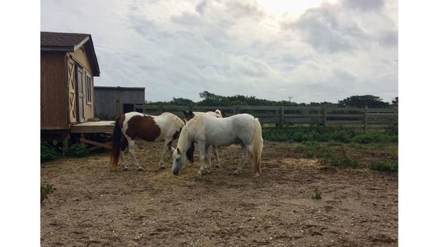 Wild horses at Outer Banks make it through Hurricane Florence